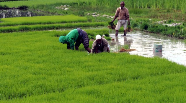 Farmers busy in fields planting paddy crop amid lockdown and fear of COVID-19 surge in Kashmir valley.